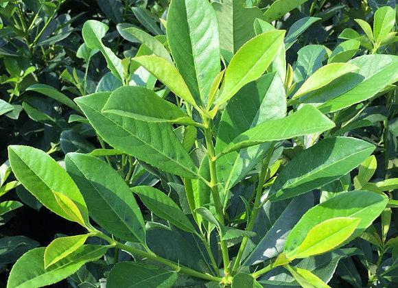 Prunus laurocerasus 'Nana'