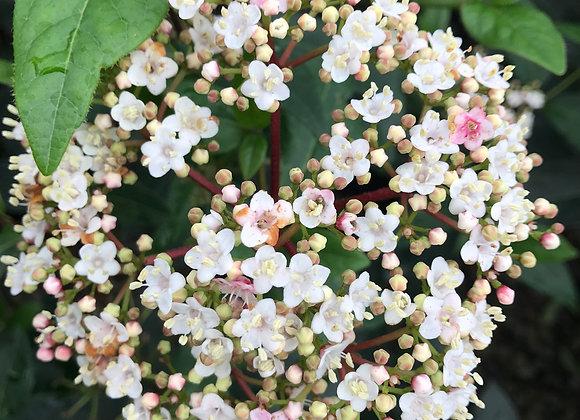 Viburnum tinus compactum 'Spring Bouquet'