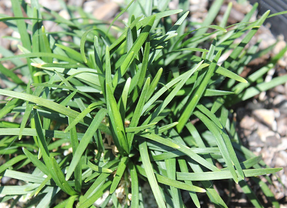 Ophiopogon japonica 'Nana'