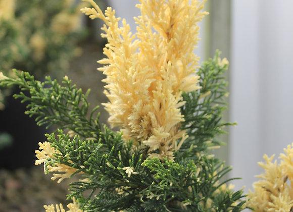 Juniperus chinensis 'Torulosa Variegata'