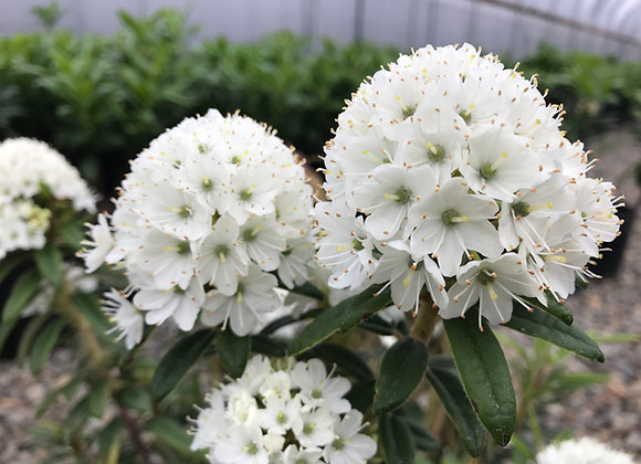 Rhododendron diversipilosum 'Milky Way'