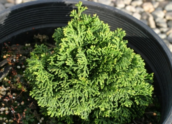 Chamaecyparis obtusa 'Leprechaun'
