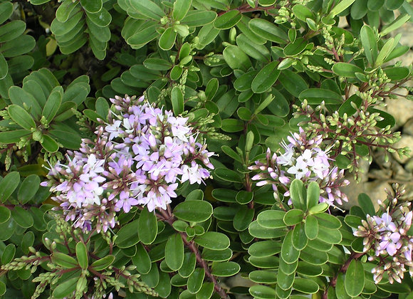 Hebe buxifolia 'Patty's Purple'
