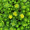 Thumbnail: Sedum acre 'Golden Carpet'