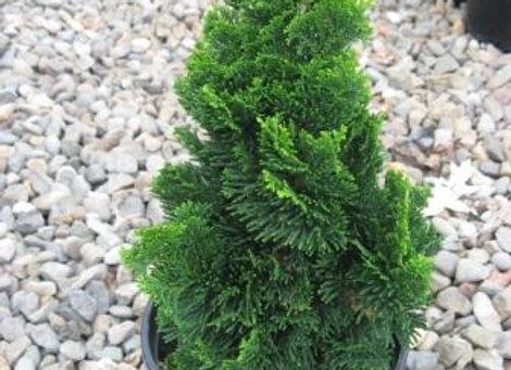 Chamaecyparis obtusa 'Little Anne'