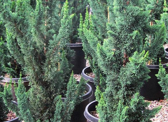 Chamaecyparis lawsoniana 'Wissel's Saguaro'