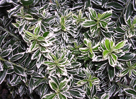 Euonymus japonica 'Micro. Variegata'