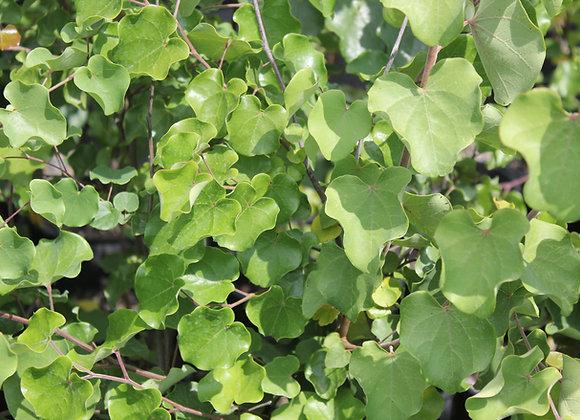 Cercis canadensis ssp. mexicana