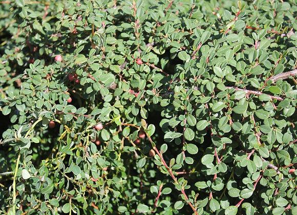 Cotoneaster dammeri 'Streibs Findling'