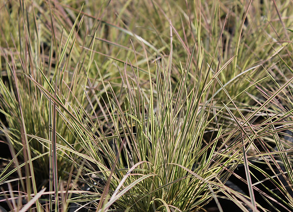 Deschampsia 'Northern Lights'