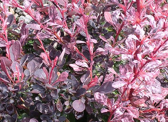 Berberis thunbergii 'Roseglow'
