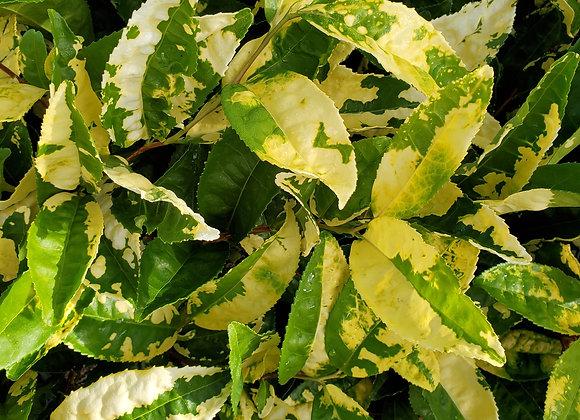 Camellia sinensis 'Yellow Tea'