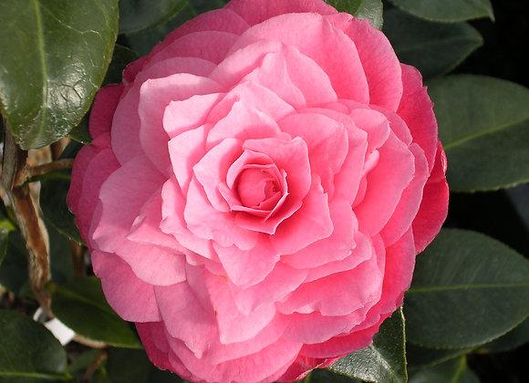 Camellia x 'April Kiss'