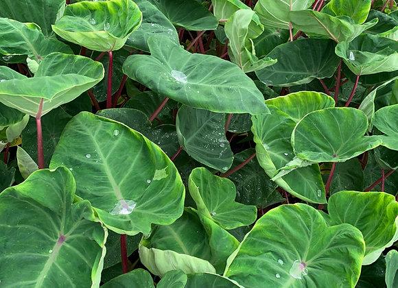 Colocasia 'Sangria' PPAF