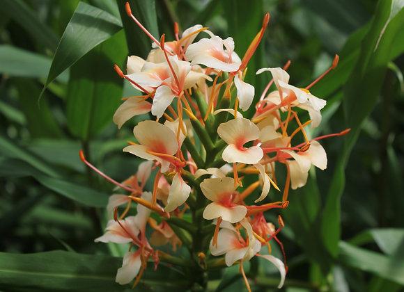 Hedychium coccineum 'Pink V'