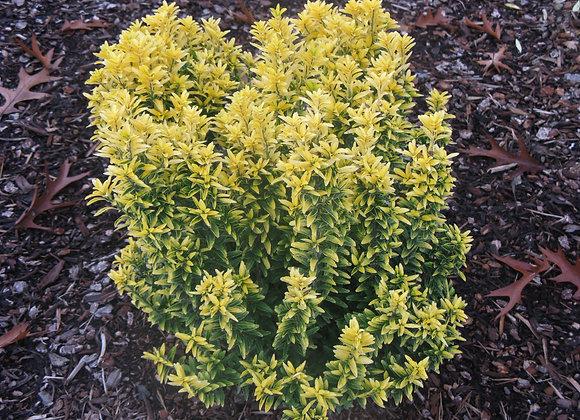 Euonymus japonica 'Micro. Butterscotch'
