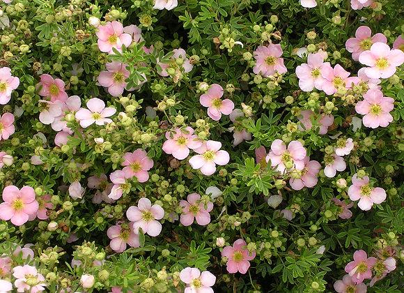 Potentilla fruticosa 'Pink Whisper'