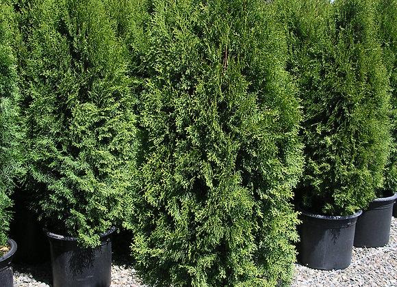 Thuja occidentalis 'Emerald Green'
