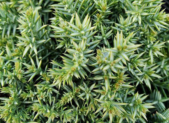 Juniperus chinensis 'Echiniformis'