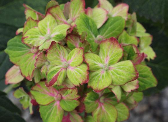 Hydrangea macrophylla 'Shamrock' PP#16223