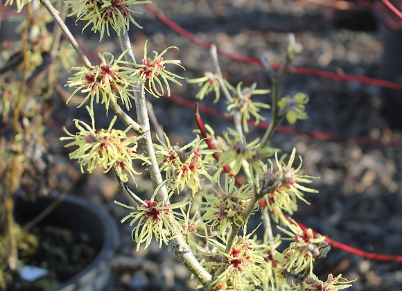 Hamamelis intermedia 'Sunburst'