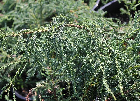 Fitzroya cupressoides 'Alerce'