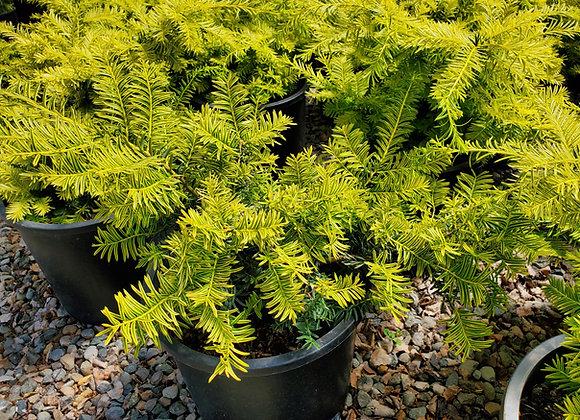 Taxus baccata 'Watnong Gold'