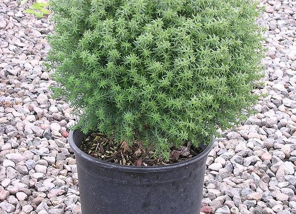 Chamaecyparis pisifera 'Tamu Himura'