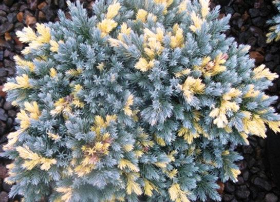 Juniperus squamata 'Floriant'