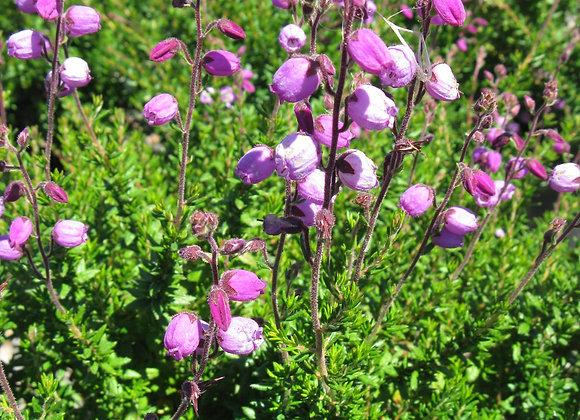 Daboecia cantabrica 'Purple Bell'