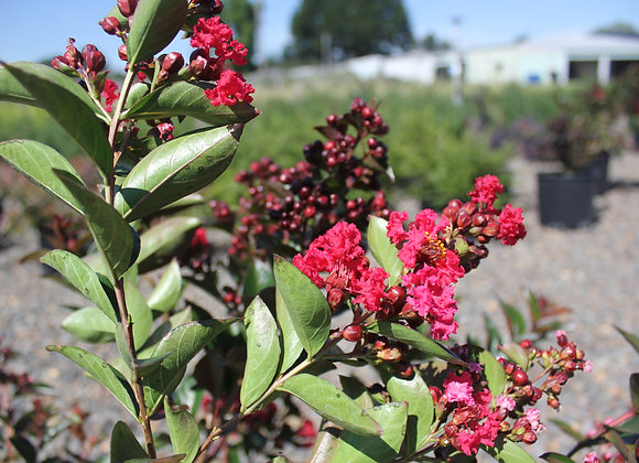 Lagerstromia x Enduring™ Summer Red PP25476