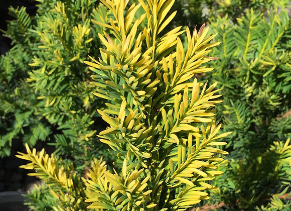 Taxus cuspidata 'Rezek's Gold'