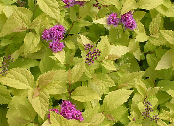 Spiraea bumalda 'Candle Light'