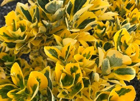 Euonymus japonica 'Aureo-Marginata'