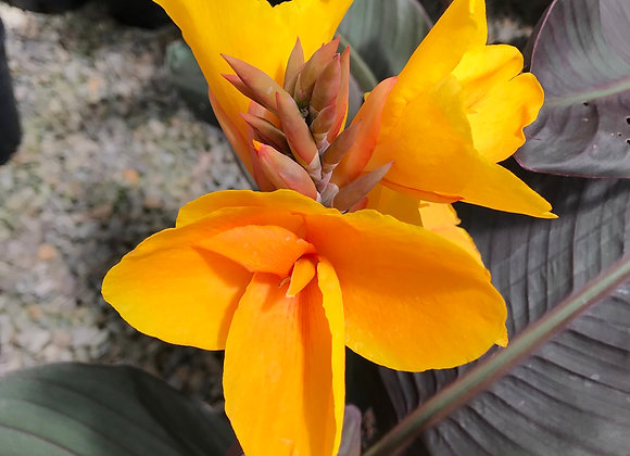 Canna 'Chocolate Sunrise'