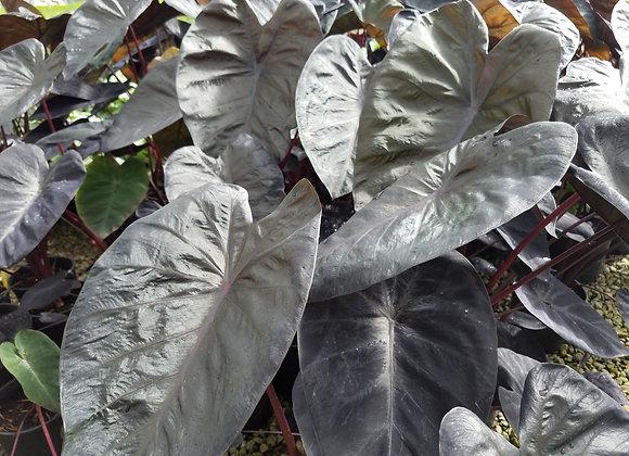 Colocasia 'Black Sapphire Gecko' PPAF