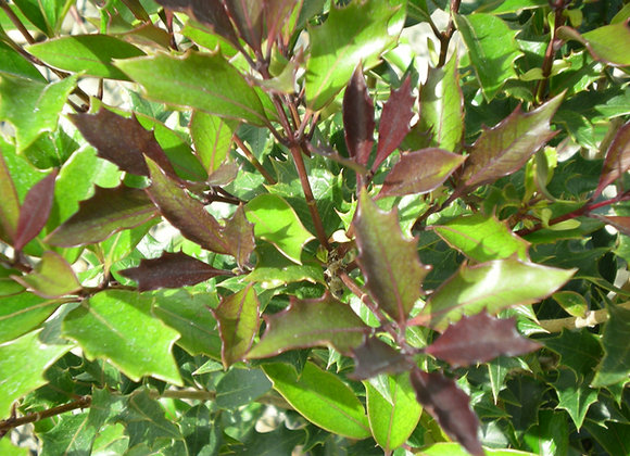 Osmanthus heterophyllus 'Purpurea'