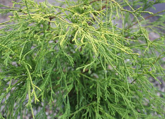 Chamaecyparis pisifera 'Gold Mop'