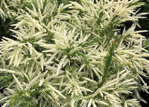 Cryptomeria japonica 'Knaptonensis'