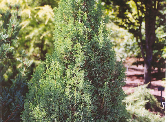 Chamaecyparis thyoides 'Top Point'