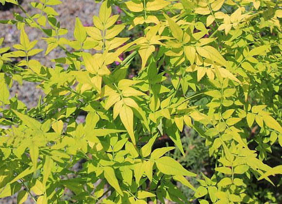 Jasminum officinale 'Frojas'