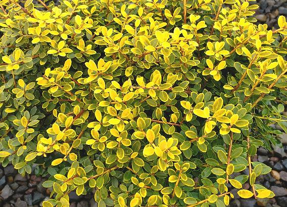 Ilex crenata 'Lemon Gem'