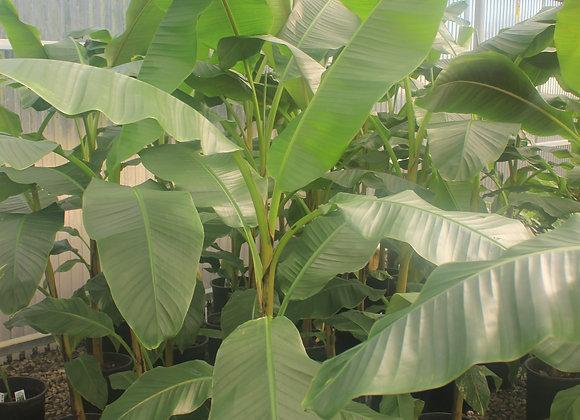Musa 'Mekong Giant'
