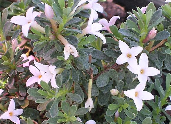 Daphne jasminea