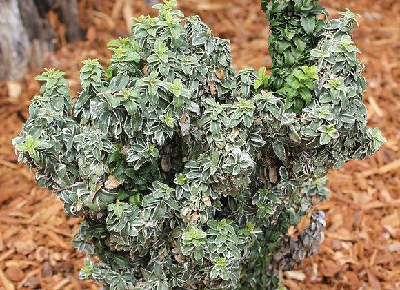 Euonymus japonica 'Rokujo Variegata'