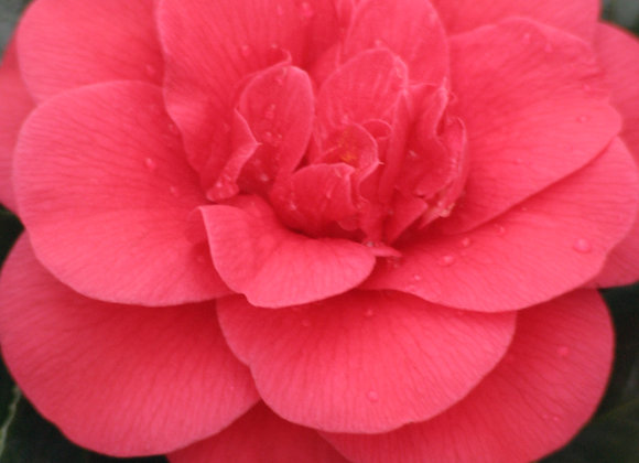 Camellia japonica 'Rosehill Red'