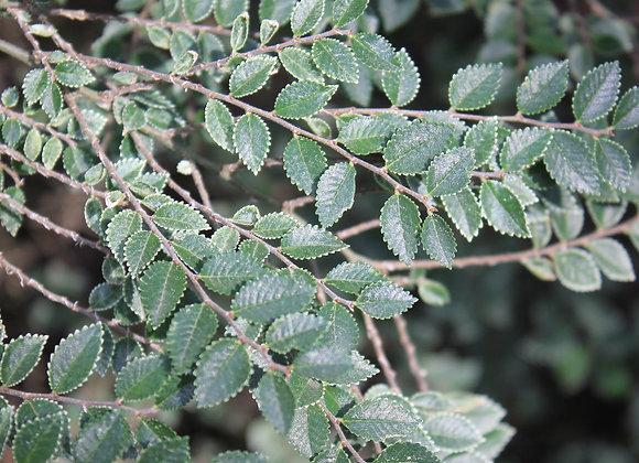 Ulmus parvifolia 'Lois Hole'
