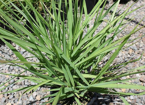Eragrostis unioloides