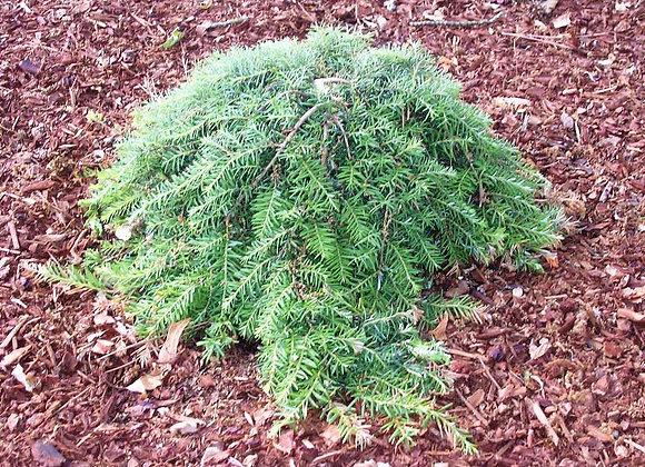 Tsuga heterophylla 'Thorsen'