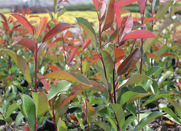 Photinia fraseri 'Red Tip'